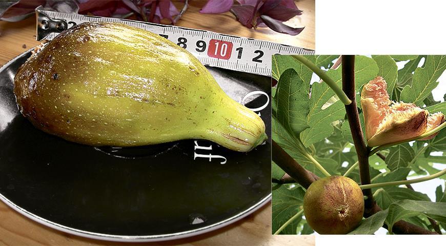 Инжир в средней полосе: личный опыт получения урожая в квартире, теплице и даже в саду!