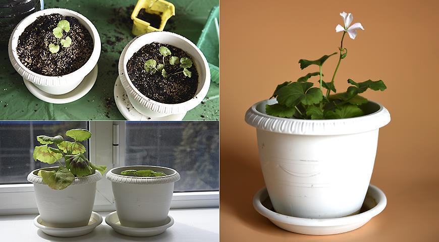 Как мы вырастили домашнюю герань или пеларгонию через рассаду