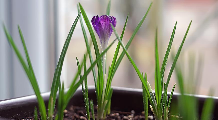 Сроки и правила выгонки луковичных: тюльпаны, нарциссы, крокусы, гиацинты