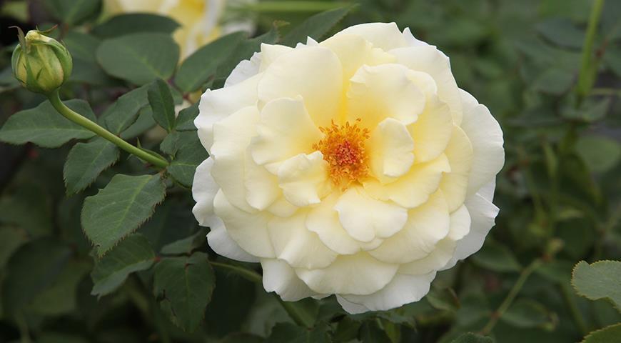 38603 Именной сад: сорта цветочных и садовых культур с именем Елена, Лена или Алена