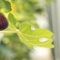39063 Инжир в средней полосе: личный опыт получения урожая в квартире, теплице и даже в саду!