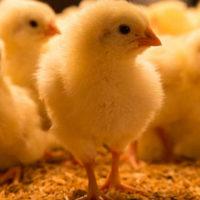 38979 Маленькие цыплята толкование сонника