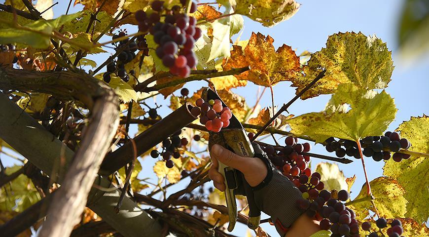 Обрезка винограда от НЕ профессионала дачника: личный опыт или 10 лет с урожаем
