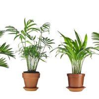 39297 Особенности выращивания пальм в комнатных условиях