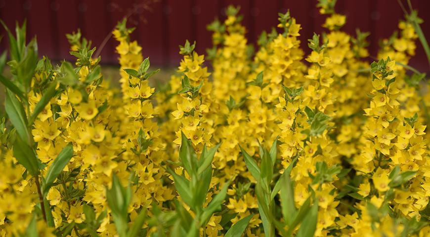 Прежде чем их посадить, подумайте, стоит ли это делать? Полный список растений-агрессоров
