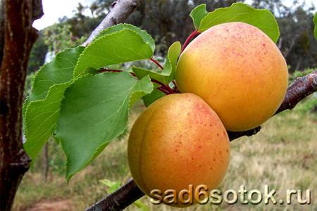 38670 Зимостойкие сорта и формы абрикоса для выращивания в Подмосковье и северных регионах