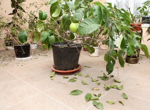 Лимон из косточек: посев, формирование, подкормки, борьба с вредителями