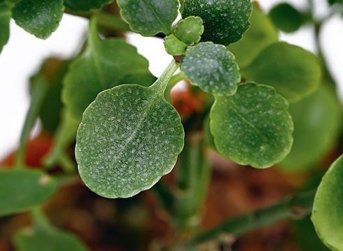 каланхоэ, проблемы выращивания каланхоэ, почему не цветет каланхоэ, светлые пятна на листьях каланхоэ