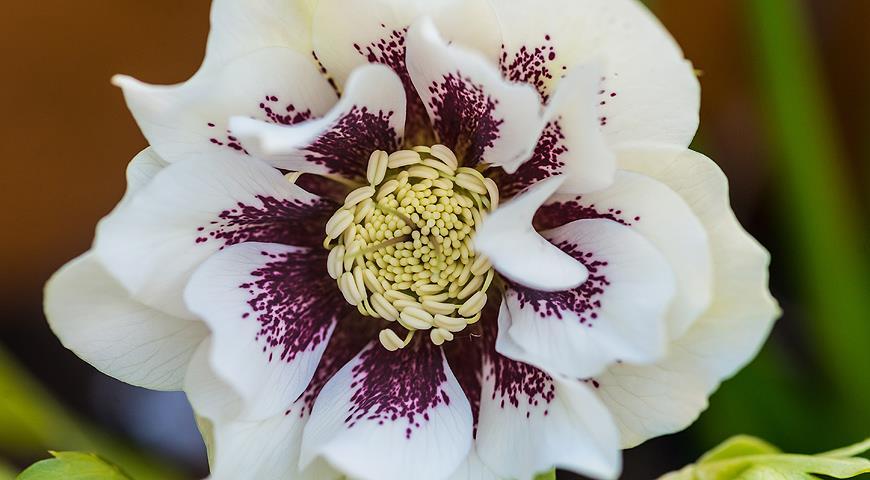 Почему морозники называют рождественской илиснежной розой? Все секреты морозников для вас