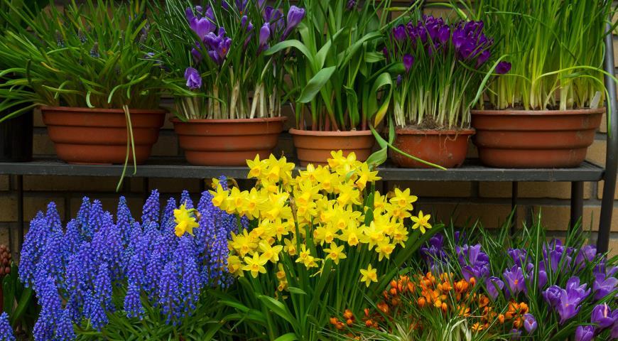 Первоцветы и первые весенние луковичные: как правильно разместить их в саду