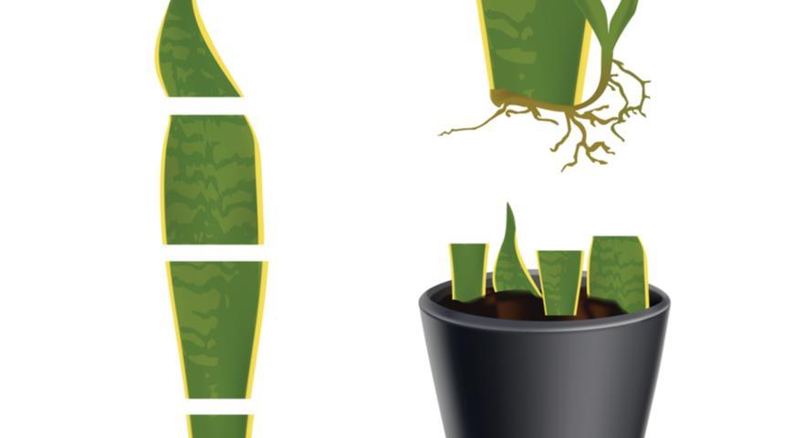 Размножение листовыми черенками сансевиерий