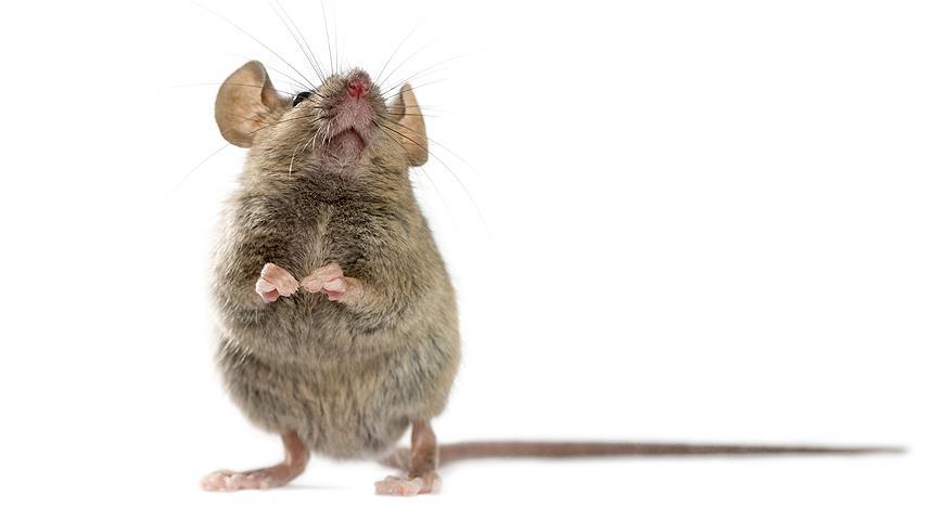 Как бороться с мышами в дачном доме: народные и готовые специальные средства
