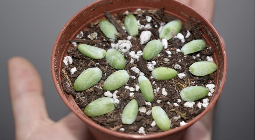 размножение суккулентов
