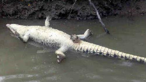 мертвый крокодил