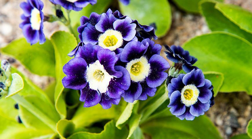 40218 Первоцветы и первые весенние луковичные: как правильно разместить их в саду