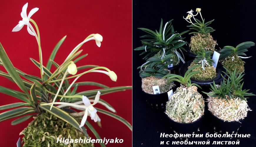 40738 Самая любимая японцами орхидея - неофинетия серповидная, или орхидея самураев