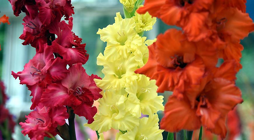 40480 Цветочный гороскоп на 23 ноября - 2 декабря: ваш цветок - гладиолус