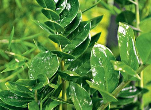 От пыли глянцевые листья замиокулькаса очищают влажной губкой.