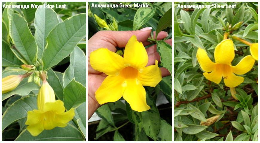 41674 9 редких красивоцветущих тропических растений для выращивания дома