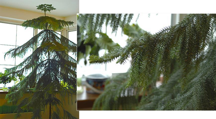 41310 Араукария - комнатная елка, самая долговечная и ЭКОлогичная замена новогодней елки
