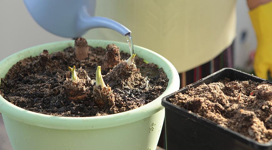 Как получить урожай витлуфа зимой в домашних условиях?