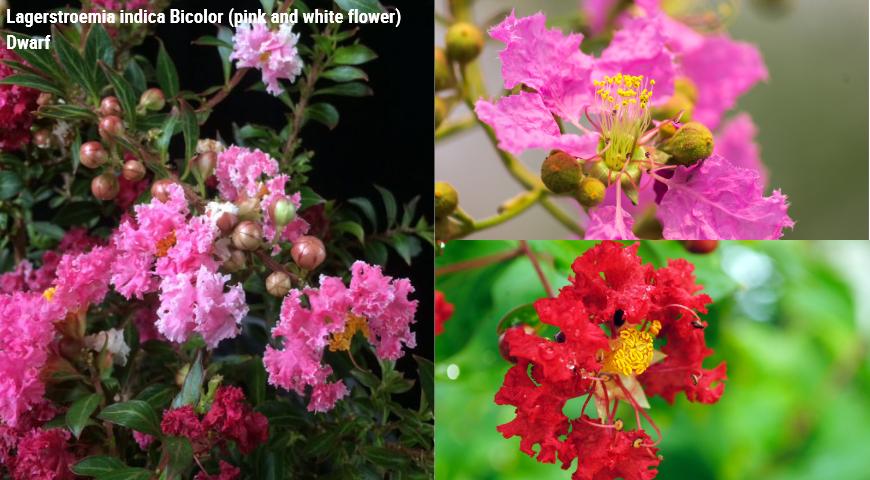 Lagerstroemia indica Bicolor (pink and white flower) Dwarf, лангстремия индийская двуцветная карликовая