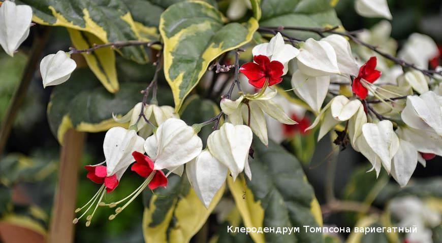9 редких красивоцветущих тропических растений для выращивания дома