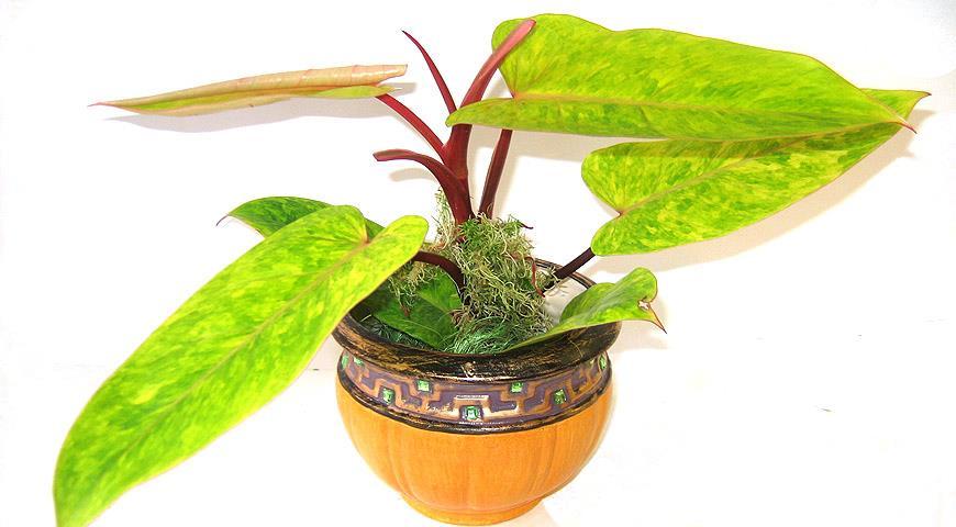41116 Как правильно омолодить и размножить комнатные растения из представителей ароидных