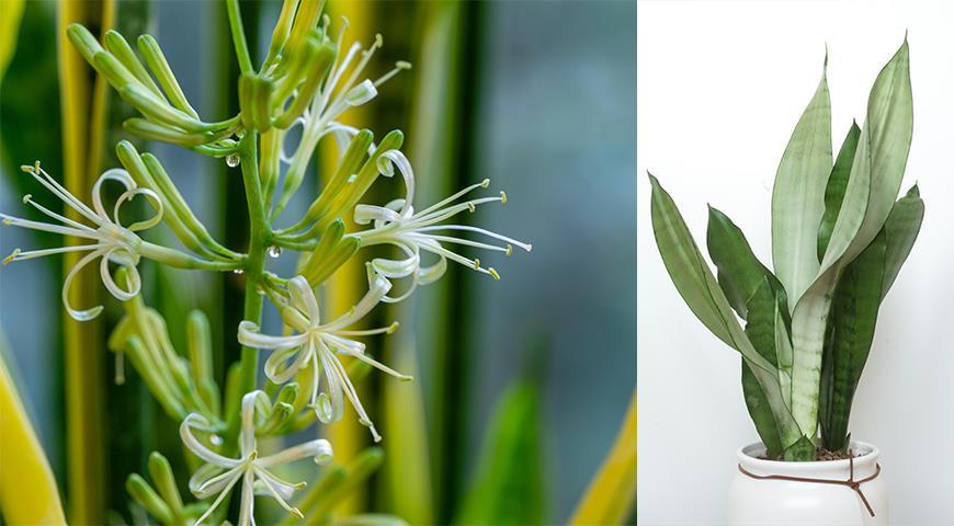 41072 Сансевьера, щучий хвост или тещин язык - самое неубиваемое растение для вашего дома