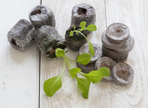 петуния, посев в торфяные таблетки, всходы готовы к пересадке