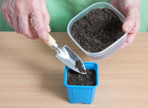 Гелиотроп, выращивание рассады из семян, семена желательно присыпать почвой