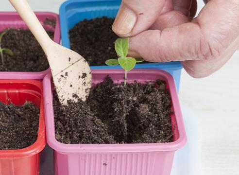 Гелиотроп, выращивание рассады из семян, пикирование рассады