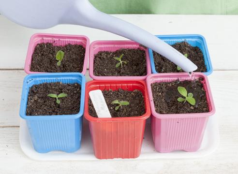 Гелиотроп, выращивание рассады из семян, полив распикированной рассады