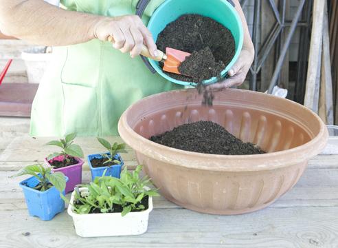 Гелиотроп, выращивание рассады из семян, подготовка почвы для посадки в контейнер