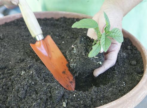 Гелиотроп, выращивание рассады из семян, посадка рассады гелиотропа к контейнер