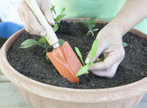Гелиотроп, выращивание рассады из семян, посадка флокса друммонда в контейнер с гелиотропом