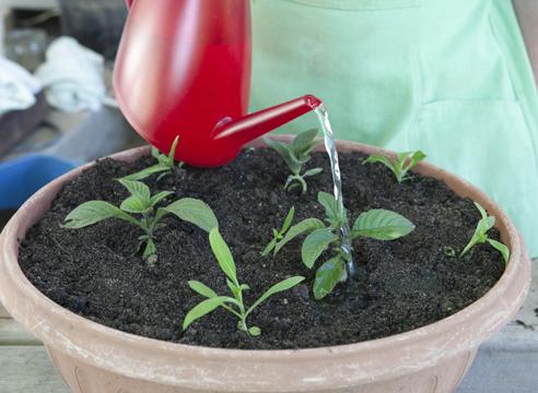 Гелиотроп, выращивание рассады из семян, полив рассады в контейнере