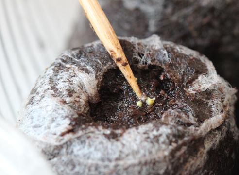 эустома, выращивание рассады, посев драже