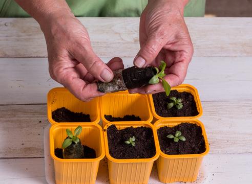 эустома, выращивание рассады, посадка сеянцев