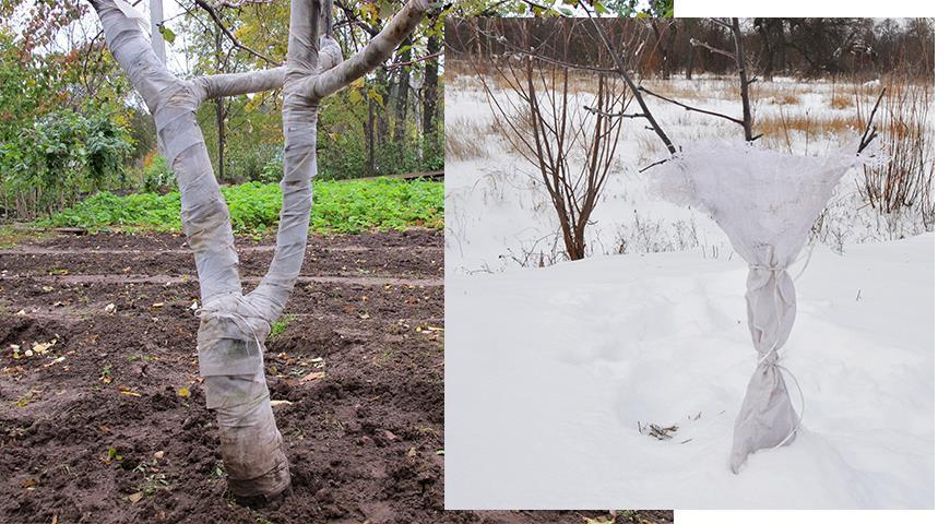 Как зимой защитить кору плодовых деревьев от грызунов и морозов?