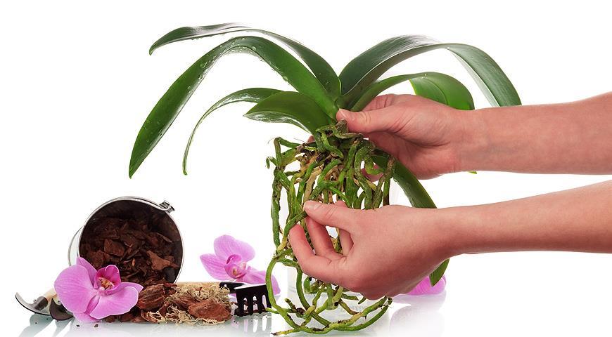 обработка орхидей янтарной кислотой