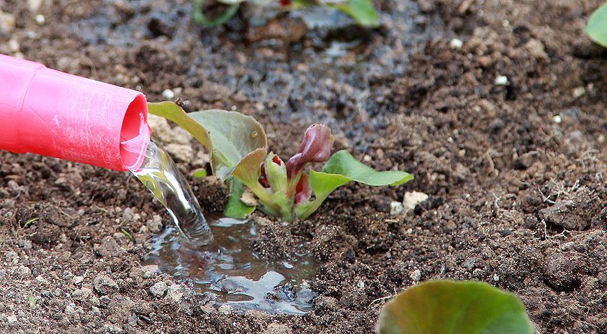 Посев бегонии вечноцветущей в торфяные таблетки: пошаговый мастер-класс
