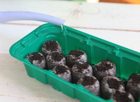 42731 Мастер-класс по посеву семян петунии на рассаду в торфяные таблетки