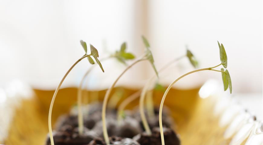 Почему вытягивается рассада и что делать: советы опытных огородников