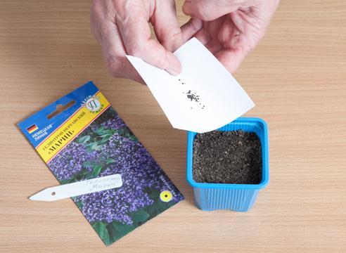 42161 Посев семян гелиотропа на рассаду в январе-феврале