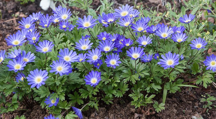 42344 Синие цветы: какие растения можно посадить в синий цветник? ТОП-25 цветов синего цвета