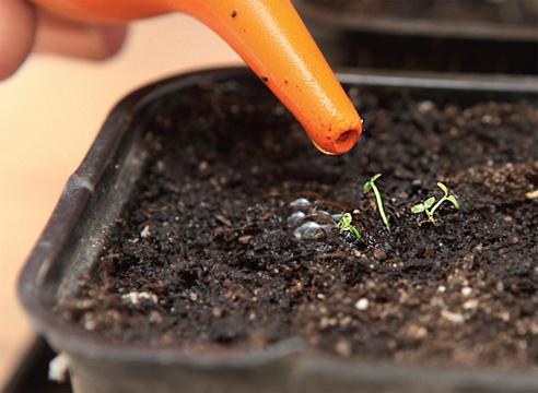 выращивание лобелии семенами, полив