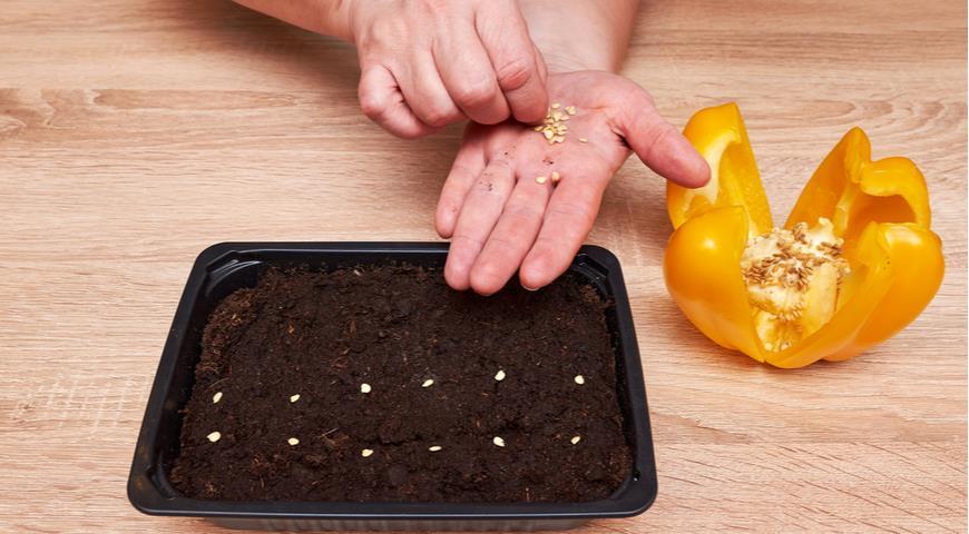 3 простых способа повысить всхожесть семян перца