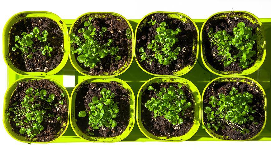 Выращивание рассады лобелии: мастер-класс с пошаговыми фото