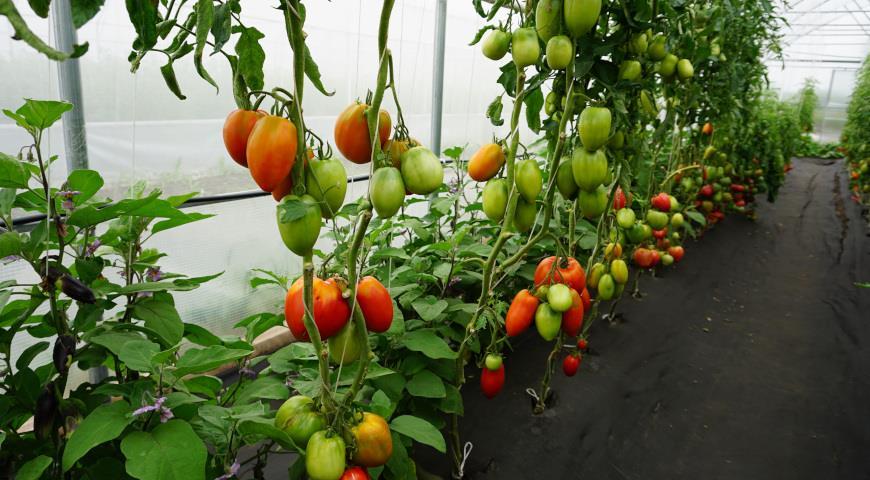 сибирские томаты, Баловень судьбы